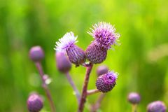 Lilac flowers, fruit of thorny grass, Thistle. Beautiful flowers lilac color, grows on a warm, sunny meadow. A warm, summer day, a sunny meadow, beautiful colors Royalty Free Stock Photography