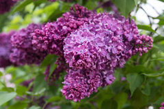 Beautiful flowers of lilac. In the garden Stock Image