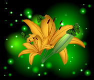 Beautiful flowers lily Royalty Free Stock Photography