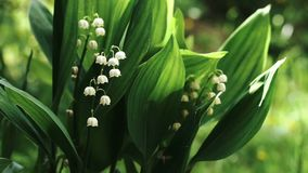 Lily of the valley flowers outdoors. Beautiful flowers of the lily of the valley outdoors stock video
