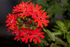 Beautiful flowers of lychnis is growing on a green meadow. Live nature. Summer morning Royalty Free Stock Photography