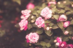 Beautiful flowers made with soft filter. Selective soft focus on the closest flower. Retro aged photo stock photos
