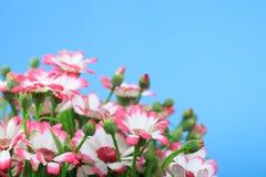 Beautiful flowers marguerites Royalty Free Stock Photos