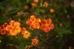 Beautiful flowers marigolds close-up on green natural background royalty free stock images