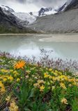 Flowers at the Moiry glacier. Beautiful flowers at the Moiry glacier and a milky blue lake of melted ice with a ominous sky with clouds in summer in the Swiss stock image