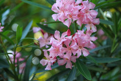 Beautiful flowers of nerium oleander close-up Stock Image