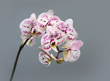 Beautiful flowers orhids Royalty Free Stock Photo