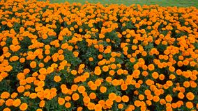 Beautiful flowers in the park. Tagetes trees and flowers blooming at sunny day in Changsha city, Hunan, China stock video
