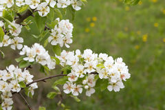 Beautiful flowers on the pear tree Stock Photo