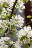 Beautiful flowers on the pear tree Royalty Free Stock Images