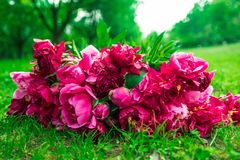 Beautiful flowers, peonies. Bouquet of pink peony background. Royalty Free Stock Photo