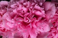 Beautiful flowers, peonies. Bouquet of pink peony background. Pink floral macro background stock photography
