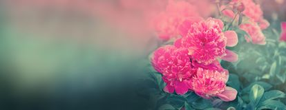 Peon flowers banner.  Blooming pink peony. Beautiful flowers peonies. Closeup of beautiful pink peonie flower banner Royalty Free Stock Images