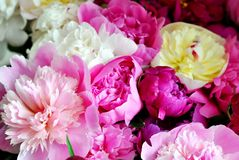 Beautiful flowers, peonies. Elegant bouquet of a lot of peonies of pink and red color close up.  stock image