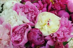 Beautiful flowers, peonies. Elegant bouquet of a lot of peonies of pink and red color close up.  royalty free stock image