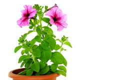 Beautiful flowers of petunia Stock Images