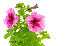 Beautiful flowers of petunia Royalty Free Stock Images