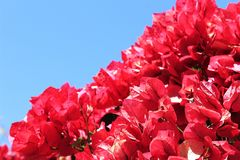 Beautiful flowers of pink bougainvillea tree royalty free stock photo
