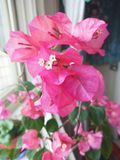 Beautiful  flowers with pink leaves royalty free stock image