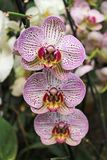 Flowers of pink orchids close-up stock photography