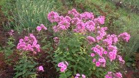 Beautiful flowers of pink phlox stock footage