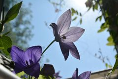 Beautiful flowers of platycodon grandiflorus on the background of blue sky. Sunny day in small garden on the balcony.  royalty free stock photography