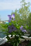 Beautiful flowers of platycodon grandiflorus grow and bloom in flowerpot in small urban garden on the balcony.  royalty free stock photography