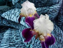 Beautiful flowers pleasing to the eye. White, lilac, grid, blue royalty free stock image