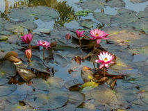 Beautiful flowers in a pond. Royalty Free Stock Image