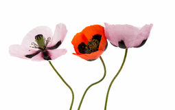 Beautiful flowers poppies isolated Royalty Free Stock Photo