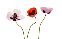 Beautiful flowers poppies isolated Royalty Free Stock Photography