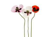 Beautiful flowers poppies isolated Stock Photo