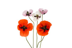 Beautiful flowers poppies isolated Stock Images