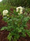 Beautiful flowers of potato Stock Photo