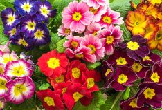 Bright primula vulgaris primroses early spring flowers Royalty Free Stock Photography