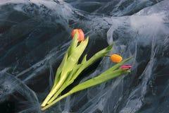 Beautiful flowers on pure ice Baikal. Royalty Free Stock Photos