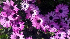 Beautiful flowers purple African daisies royalty free stock photography