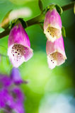 Beautiful flowers purple Foxglove Stock Photo
