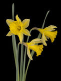 Wild daffoldils, narcissus over black - spring flowers Royalty Free Stock Photos