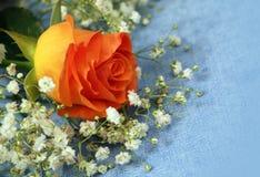 Beautiful flowers roses close-up Stock Photos