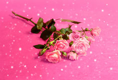 Beautiful flowers roses Stock Images