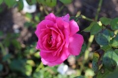 Beautiful Flowers. Beautiful roses in the garden stock images