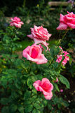 Beautiful flowers of roses Royalty Free Stock Image
