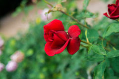 Beautiful flowers of roses Royalty Free Stock Photography