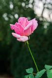Beautiful flowers of roses Stock Photography