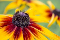 A beautiful flowers of Rudbeckia, coneflower close up stock photo