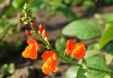 Beautiful flowers of Runner Bean Plant. Phaseolus coccineus growing in the garden Stock Images