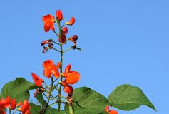 Beautiful flowers of Runner Bean Plant. Phaseolus coccineus growing in the garden Stock Photos