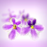 Beautiful flowers Saintpaulia Stock Photo