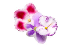 Beautiful flowers Saintpaulia Stock Images